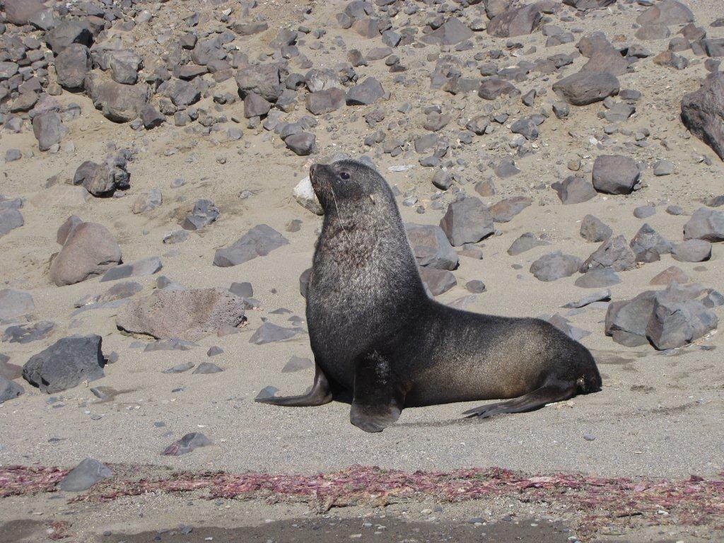 fur-seal_cape-lachmann