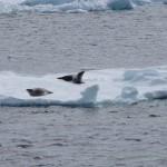 antarctic-sound-seals