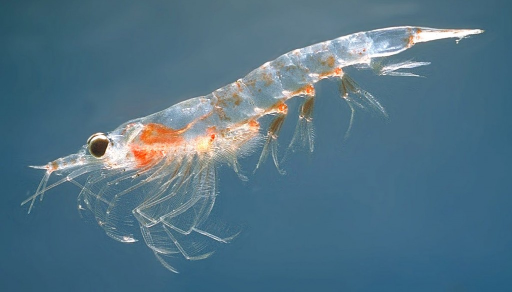 Image of Antarctic Krill swimming